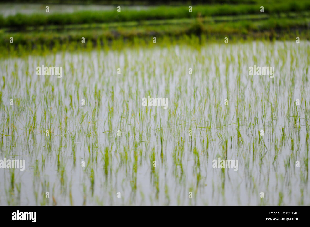 A rice paddy field - Stock Image