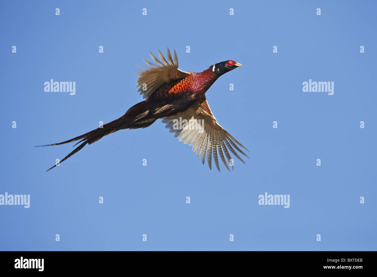 Ring-Necked Pheasant in flight against blue sky. - Stock Image