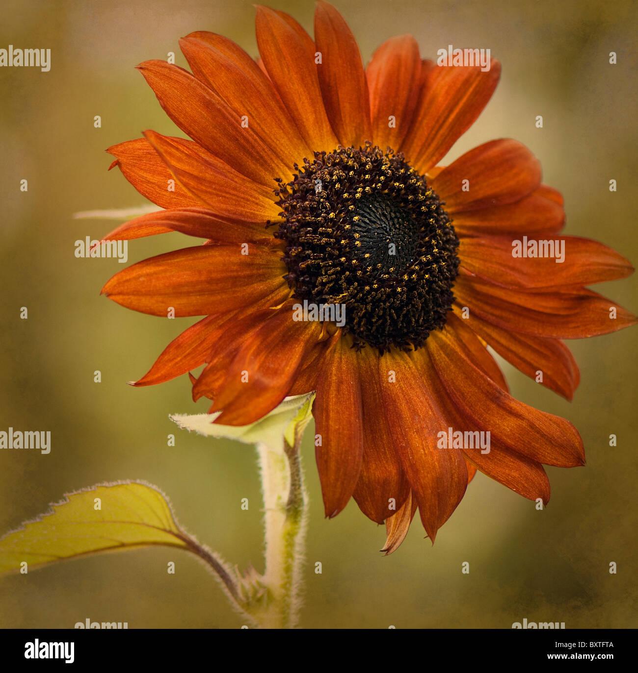 A single Sunflower Helianthus annus 'Velvet Queen' Stock Photo