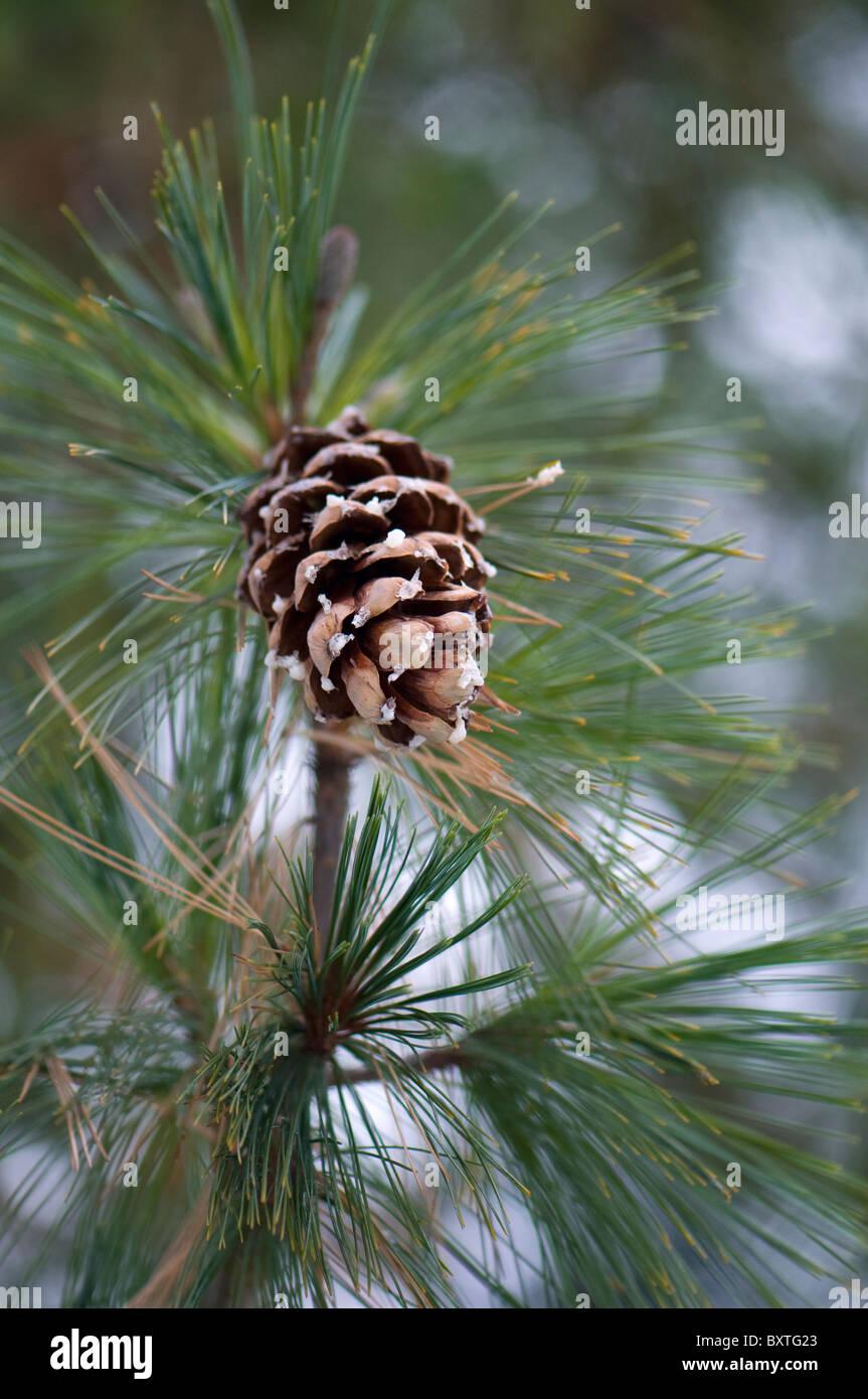 Pine cones on a tree - Stock Image