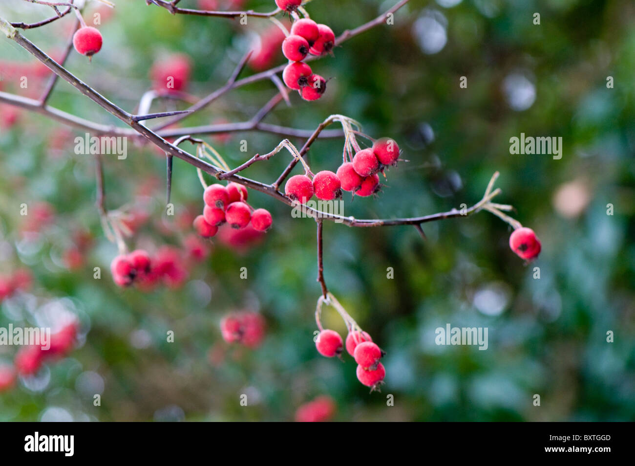 Vibrant red winter berries against soft background - Stock Image