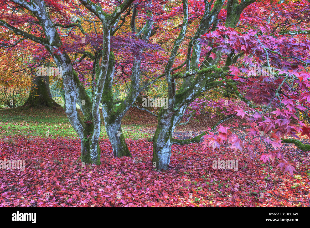 Leaves in shades of red covering trees Scotland - Stock Image