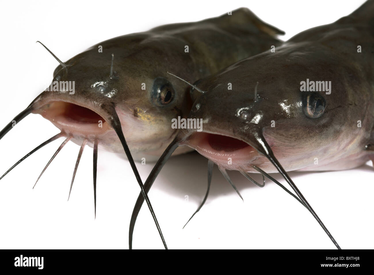 Channel catfish isolated on a white background. Traditionally American kind of a fish. - Stock Image
