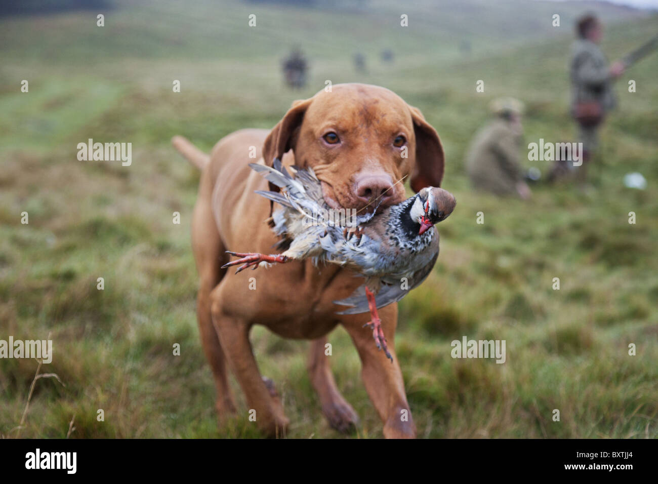Well trained Vizsla Pointer with partridge that has been shot during a hunt. - Stock Image