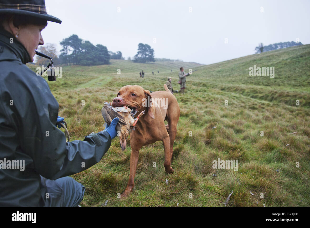 A Game Keeper with Vizsla Pointer carrying a partridge that has been shot by the hunters during an orginized hunt. - Stock Image