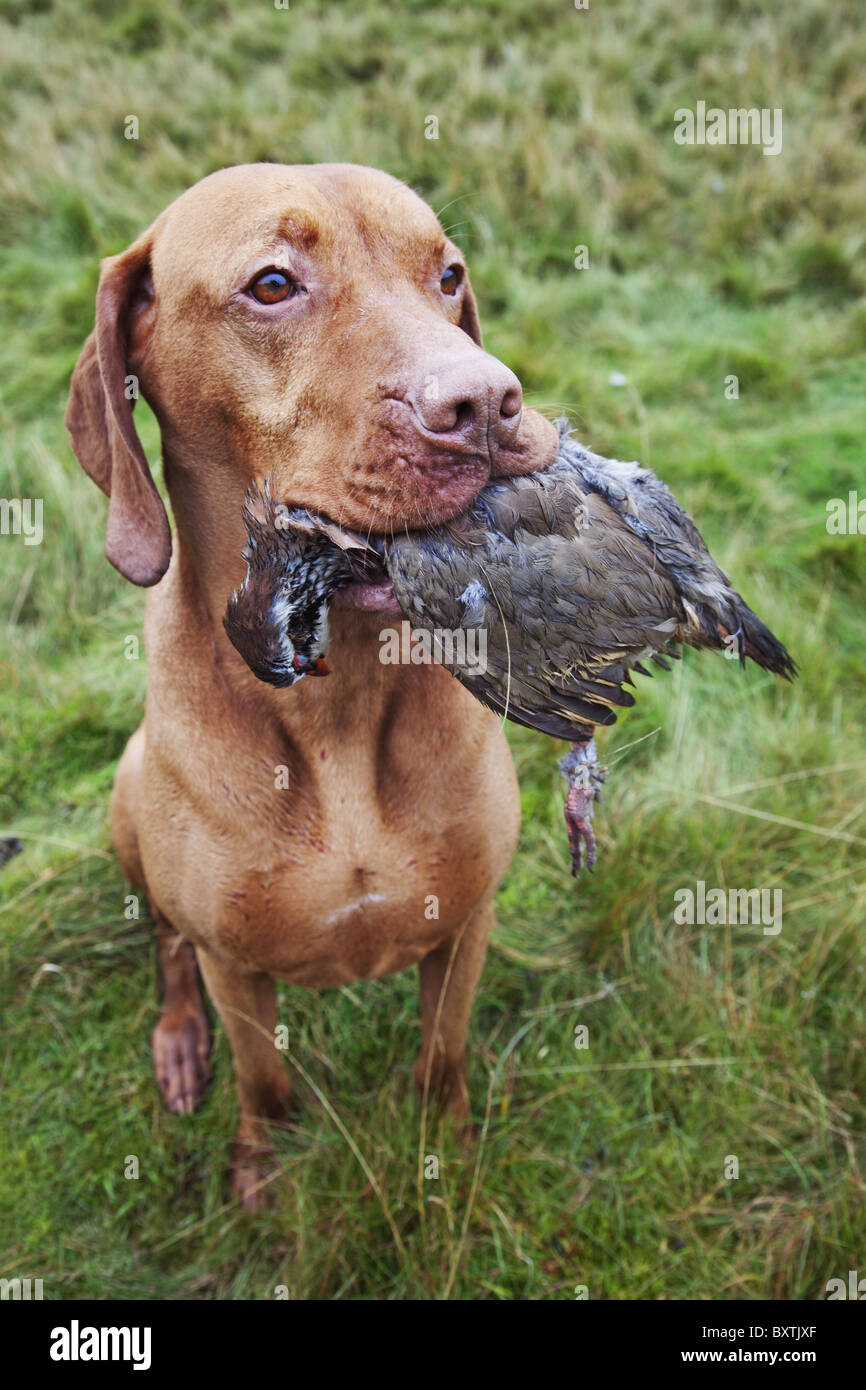 Well trained retriever with partridge that has been shot during a hunt. - Stock Image