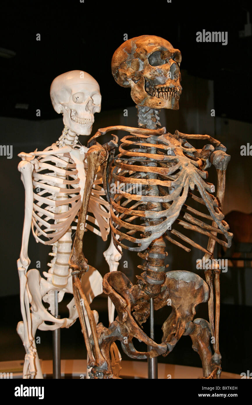 Model Skeletons Showing Neanderthal Man And A Modern Human Behind - Stock Image