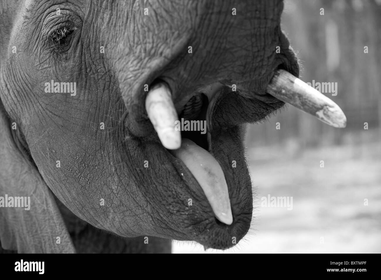 African Elephant Opening its Mouth and Displaying its Tongue and Molars near Knysna, South Africa - Stock Image