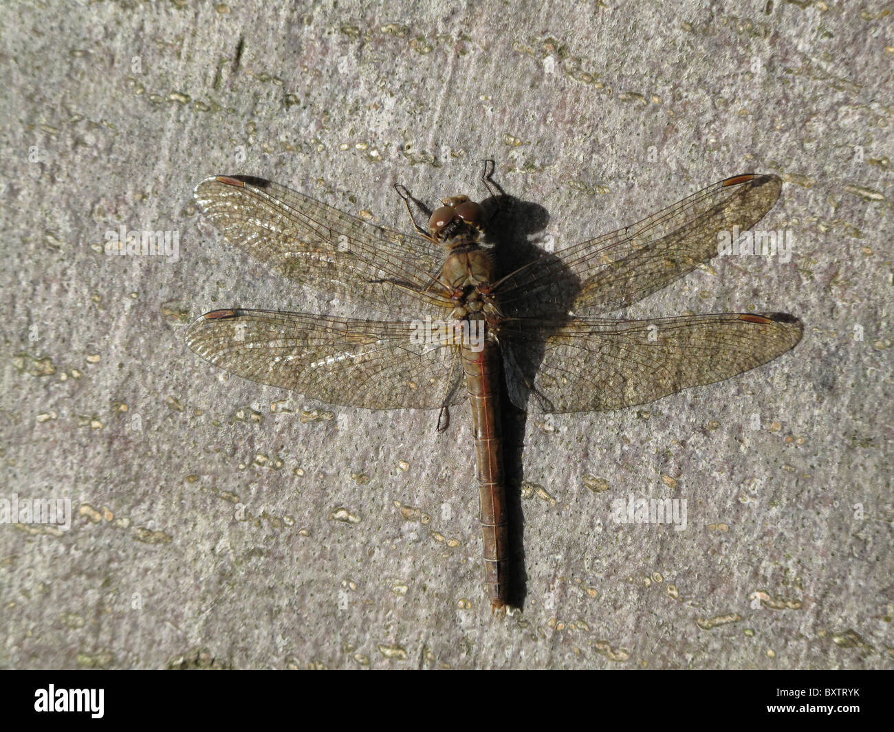 Dragonfly basking in the sunlight on a dead tree in West Sussex, UK - Stock Image