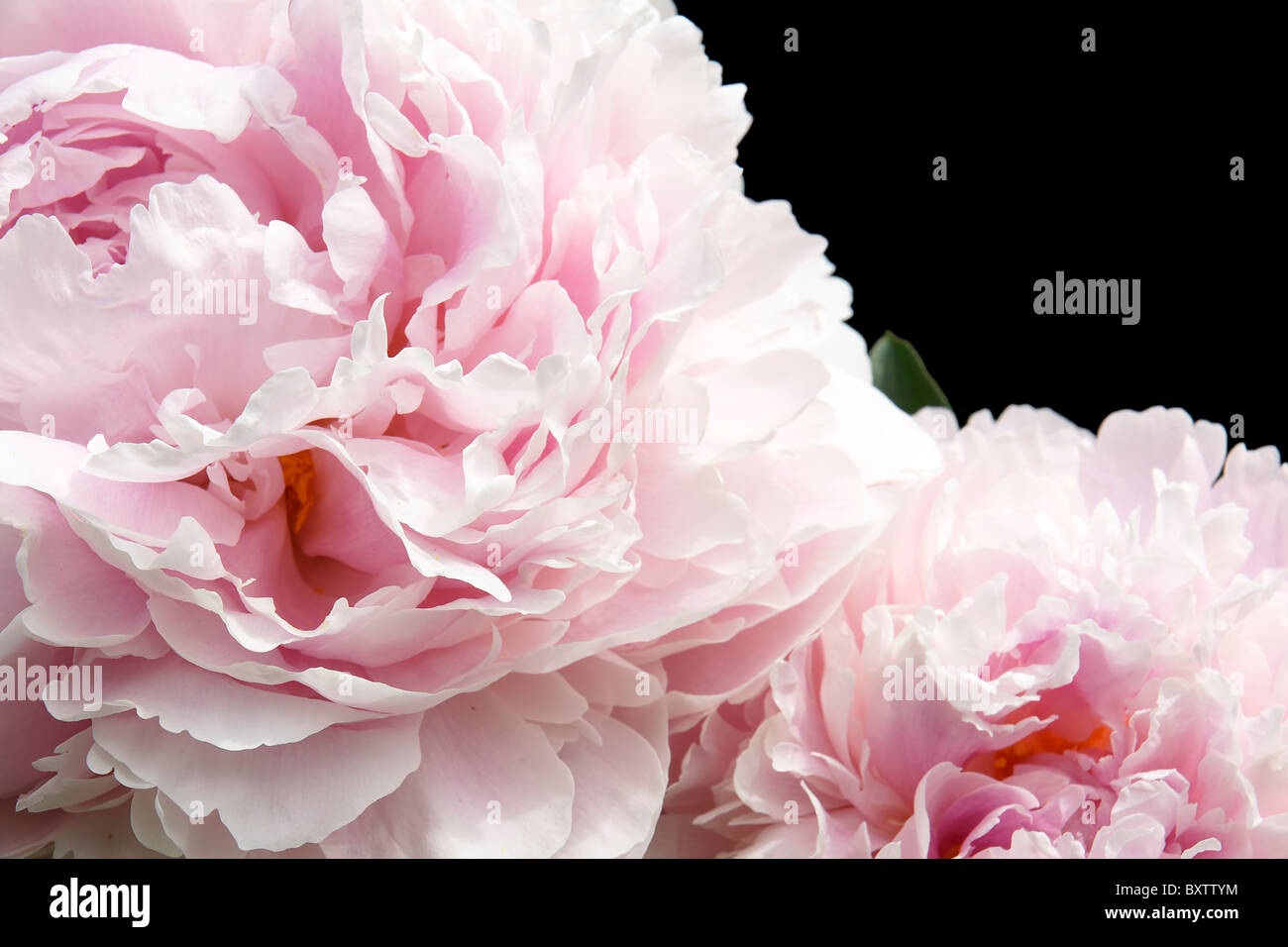 Pale pink flowers (peonies) detail close-up isolated on black. Great floral background with copy space. - Stock Image