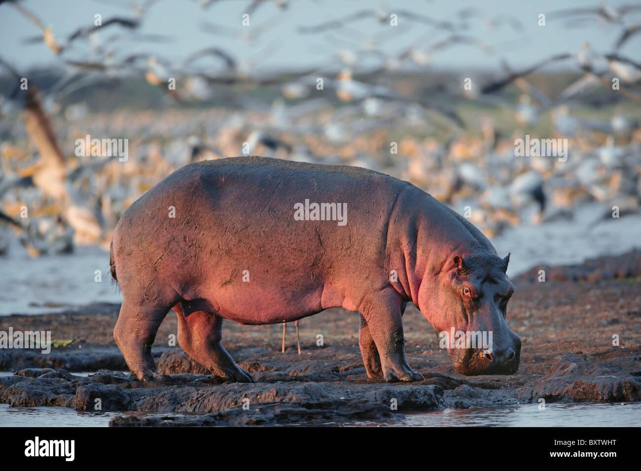 Hippopotamus,Hippopotamus amphibius; Lake Manyara; Lake Manyara National Park; Tanzania, Africa - Stock Image