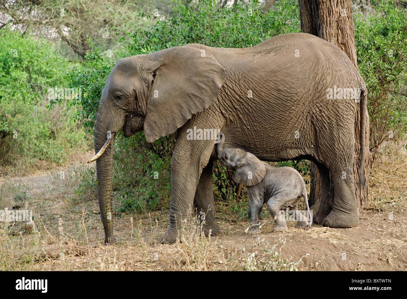 Newborn baby elephant nursing, Elephant,Loxodonta africana, Lake Manyara National Park, Tanzania, Africa - Stock Image
