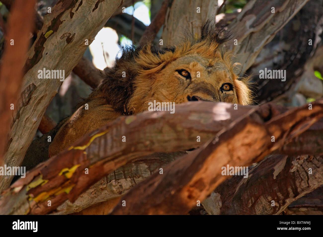 Male lion resting in tree, Panthera leo, Lake Manyara National Park, Tanzania, Africa - Stock Image