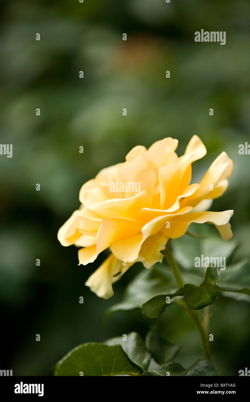 Yellow Rose Side View Flower Stock Photos Yellow Rose Side View