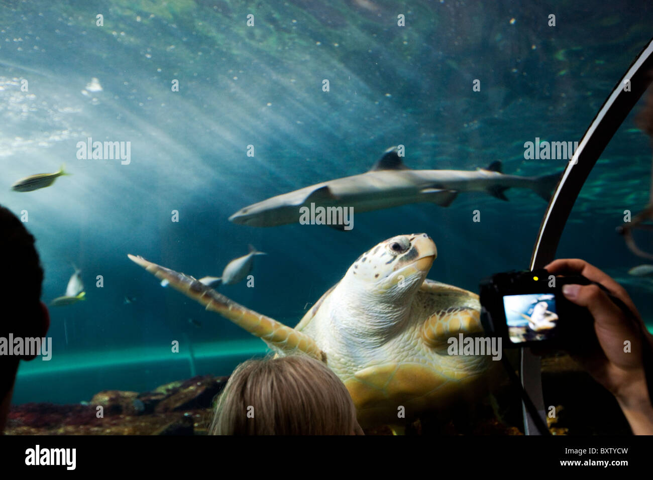 Australia, New South Wales, Sydney, Tourist photographs Loggerhead Turtle (Caretta caretta) swimming inside Sydney - Stock Image