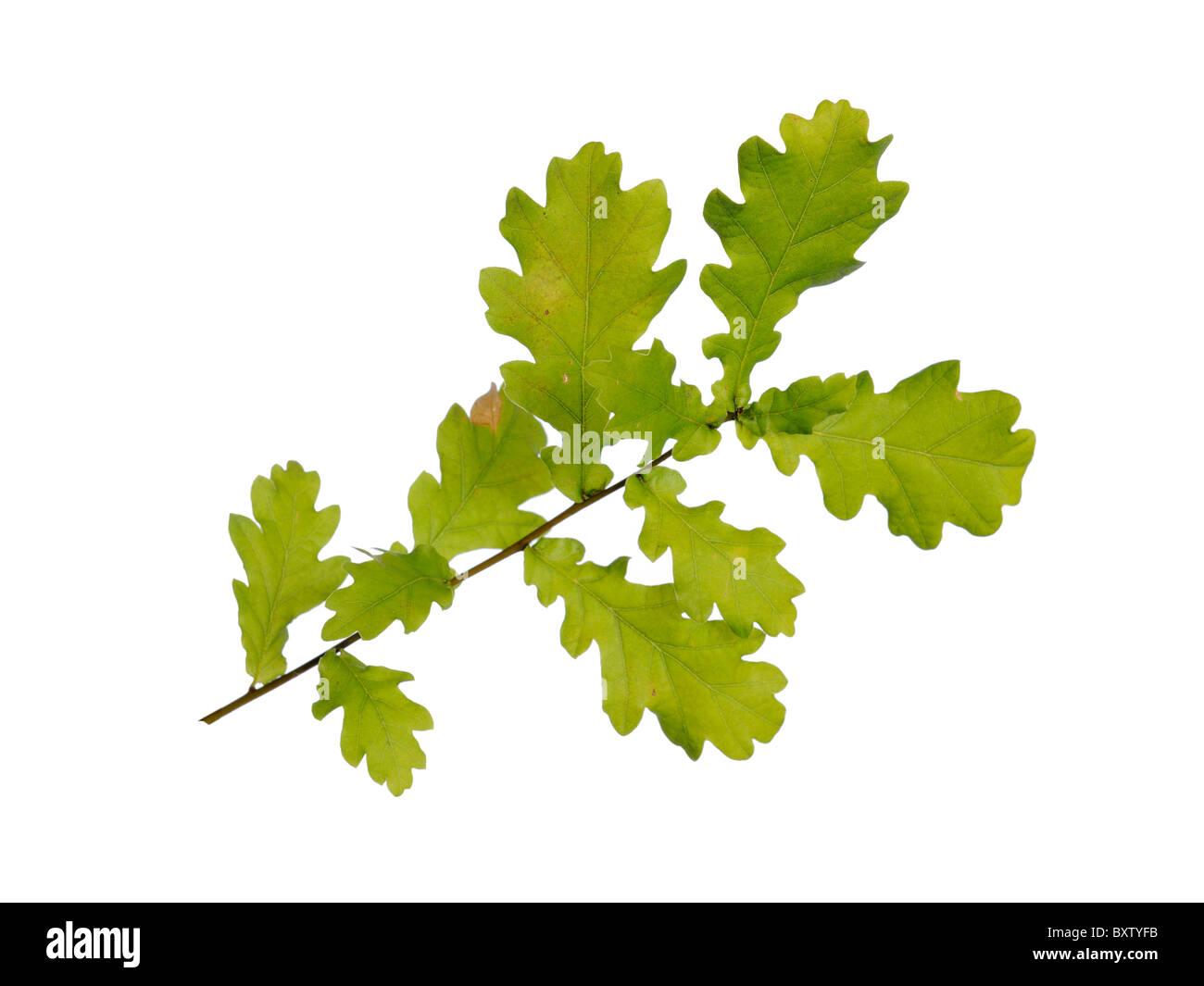 English oak leaves - Stock Image