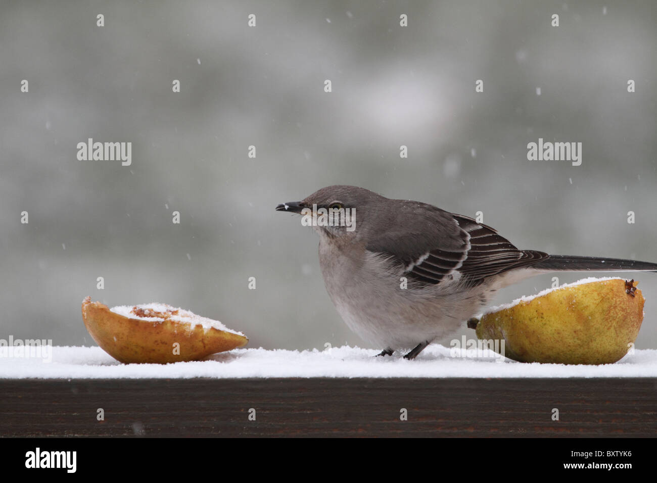 A Northern Mockingbird, Mimus polyglottos, preparing to eat pears in the snow. New Jersey, USA. Stock Photo