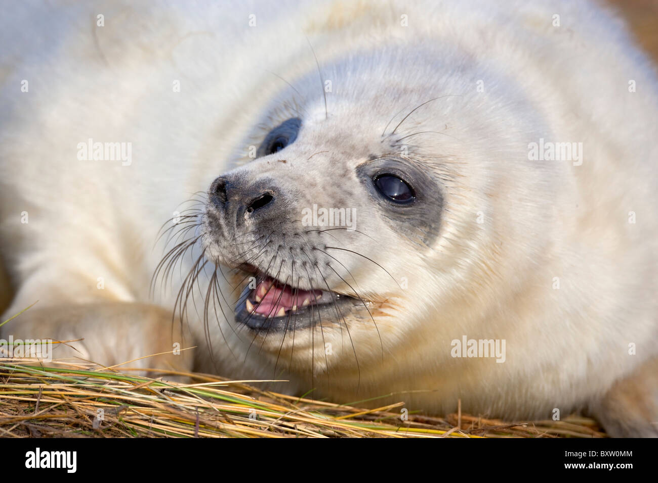 Grey Seal; Halichoerus grypus; pup; Donna Nook; Lincolnshire Stock Photo