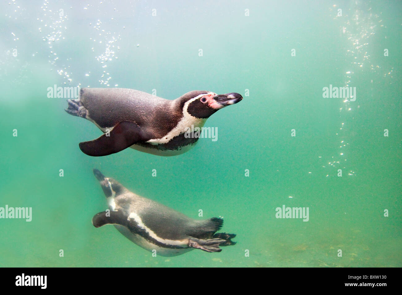 Humboldt Penguins; Spheniscus humboldti; in a pool at the National Seal Sanctuary; Cornwall - Stock Image