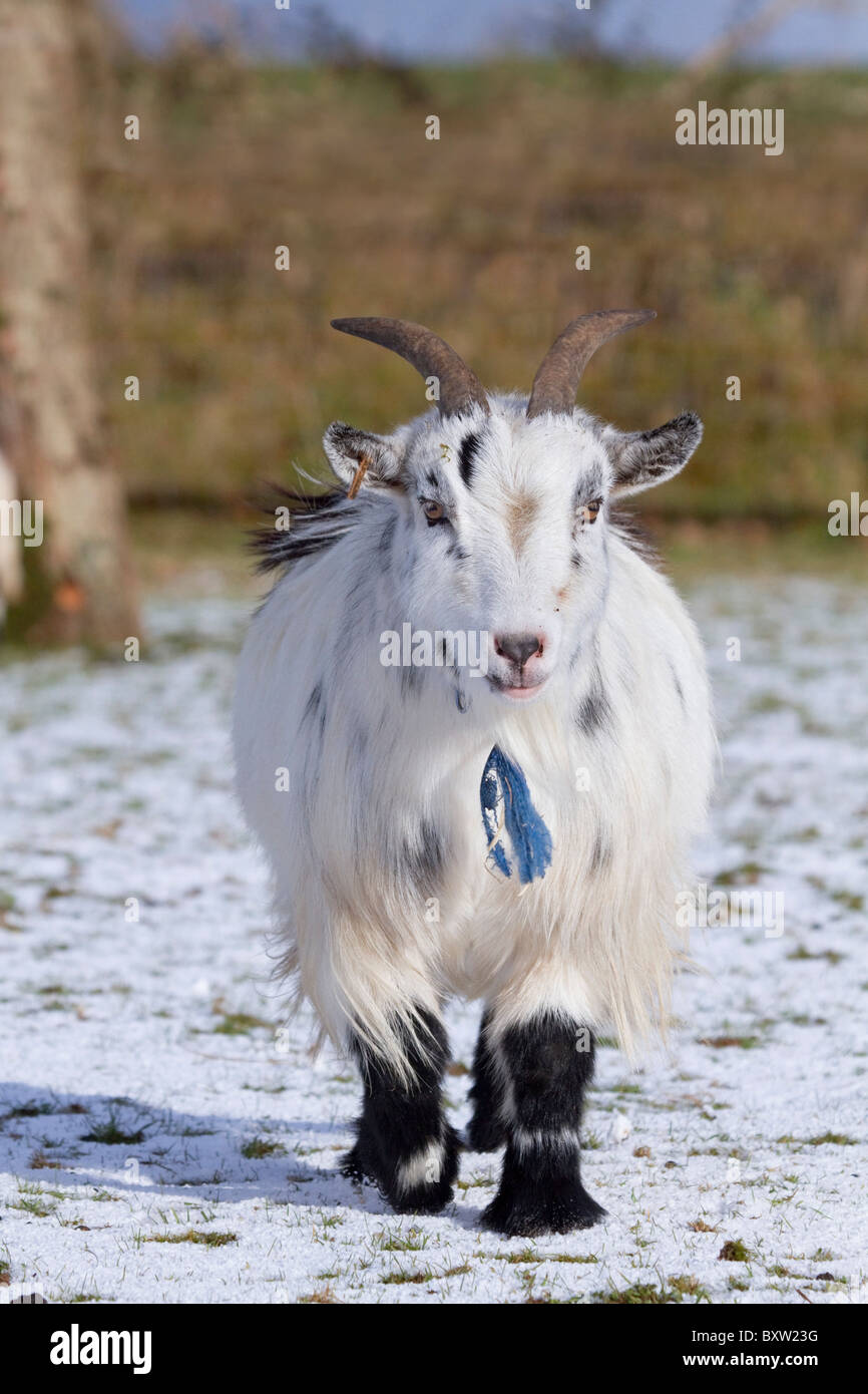Pygmy Goat in Snow; National Seal Sanctuary; Cornwall - Stock Image