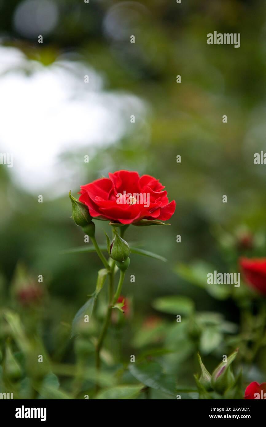 Rosefull dating