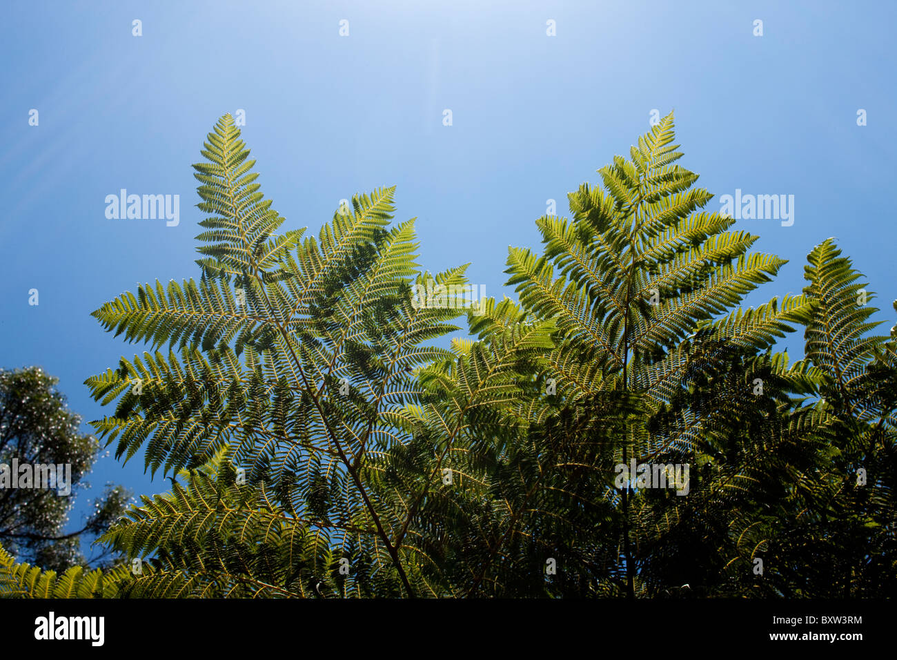 Australia, Victoria, Midday sun shines above tree ferns in coastal forest along Great Ocean Road - Stock Image
