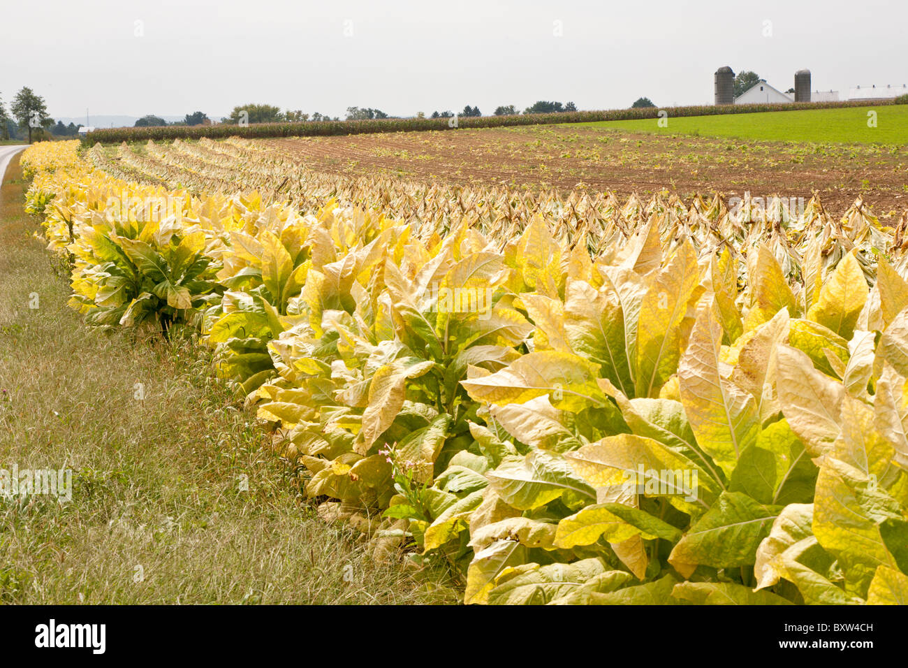 Tobacco in fields during harvest in Lancaster County, Pennsylvania - Stock Image