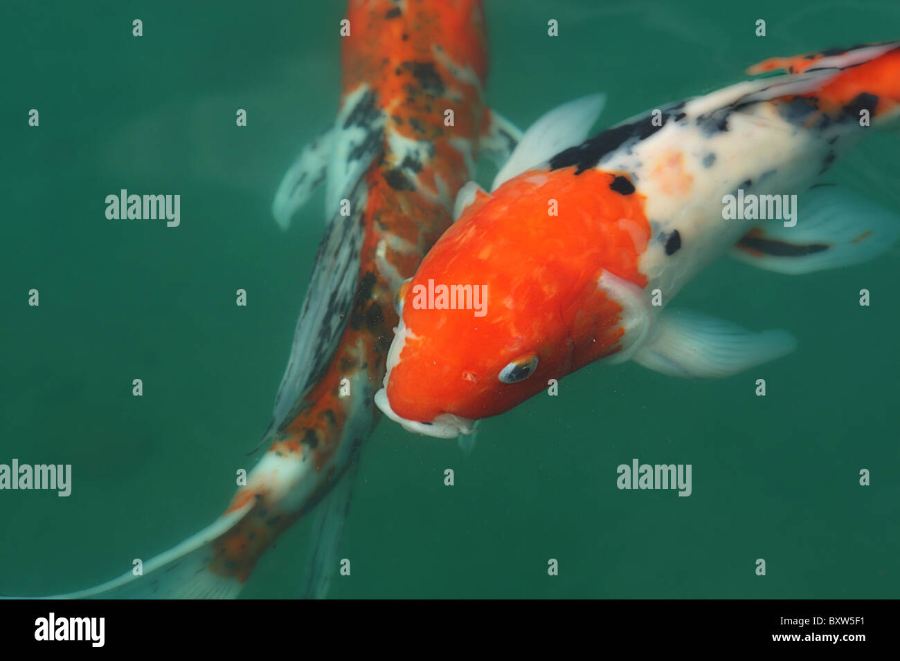 Beautiful Koi fish in a pond - Stock Image