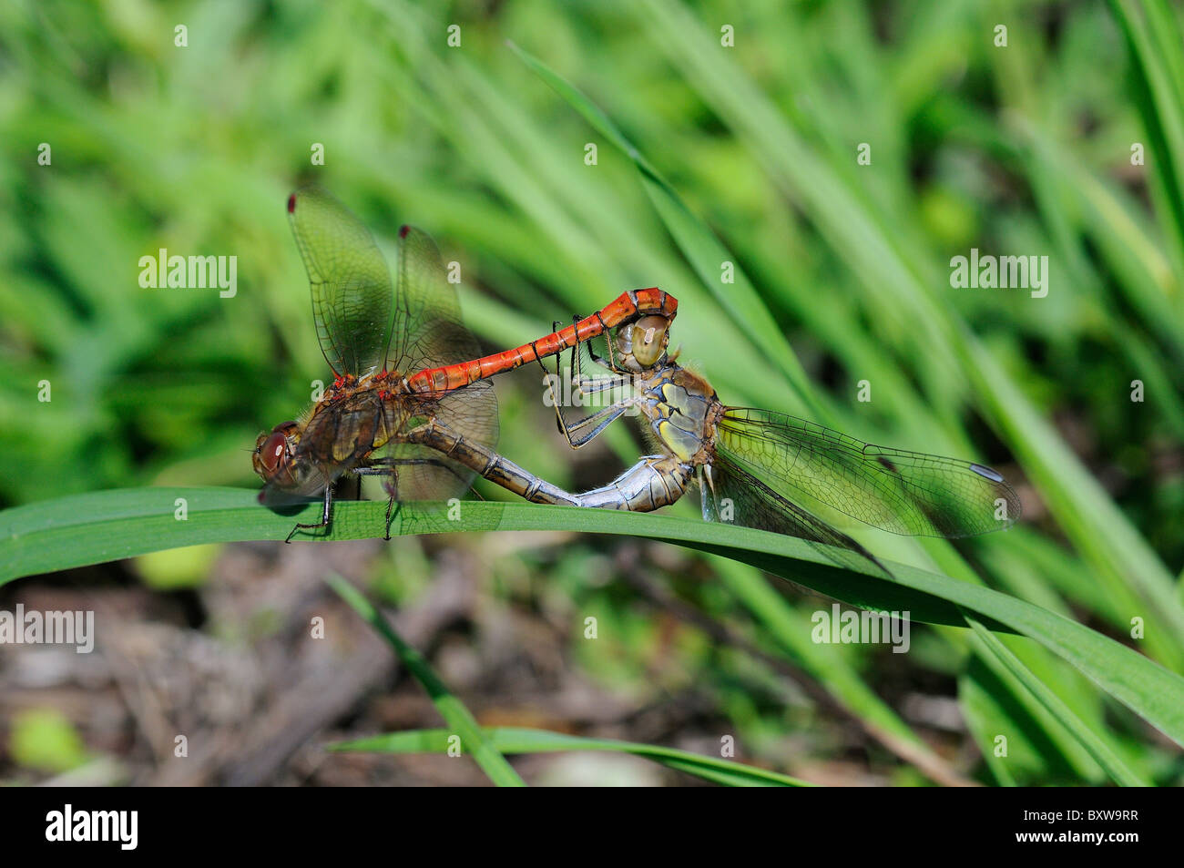 Common Darter Dragonfly (Sympetrum striolatum) pair mating in wheel position on blade of grass, Oxfordshire, UK - Stock Image
