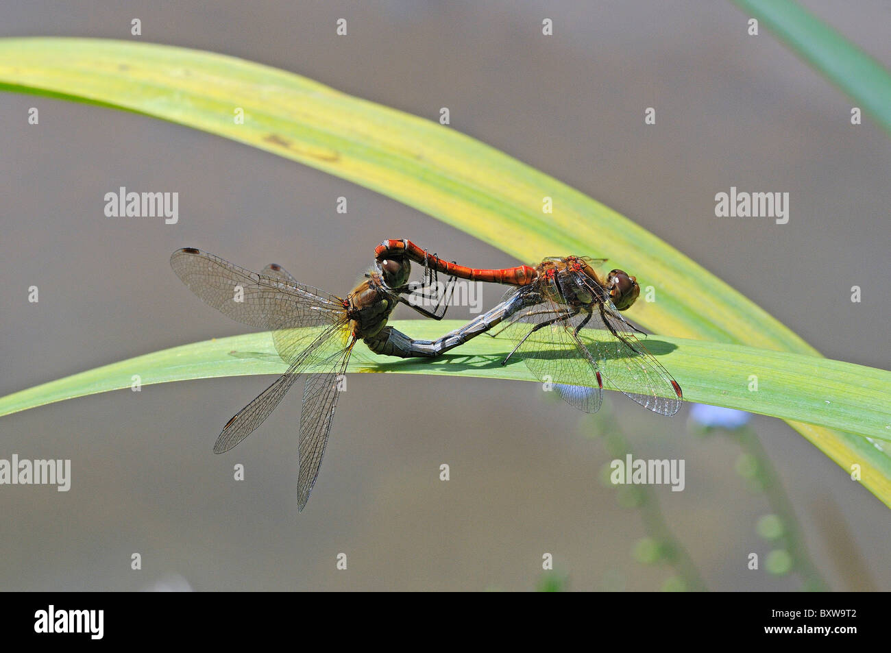 Common Darter Dragonfly (Sympetrum striolatum) pair mating on leaf in wheel position, Oxfordshire, UK - Stock Image