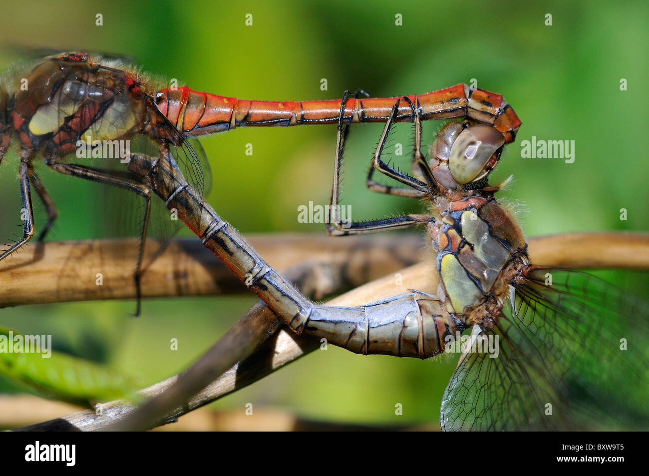 Common Darter Dragonfly (Sympetrum striolatum) pair mating, Oxfordshire, UK. - Stock Image