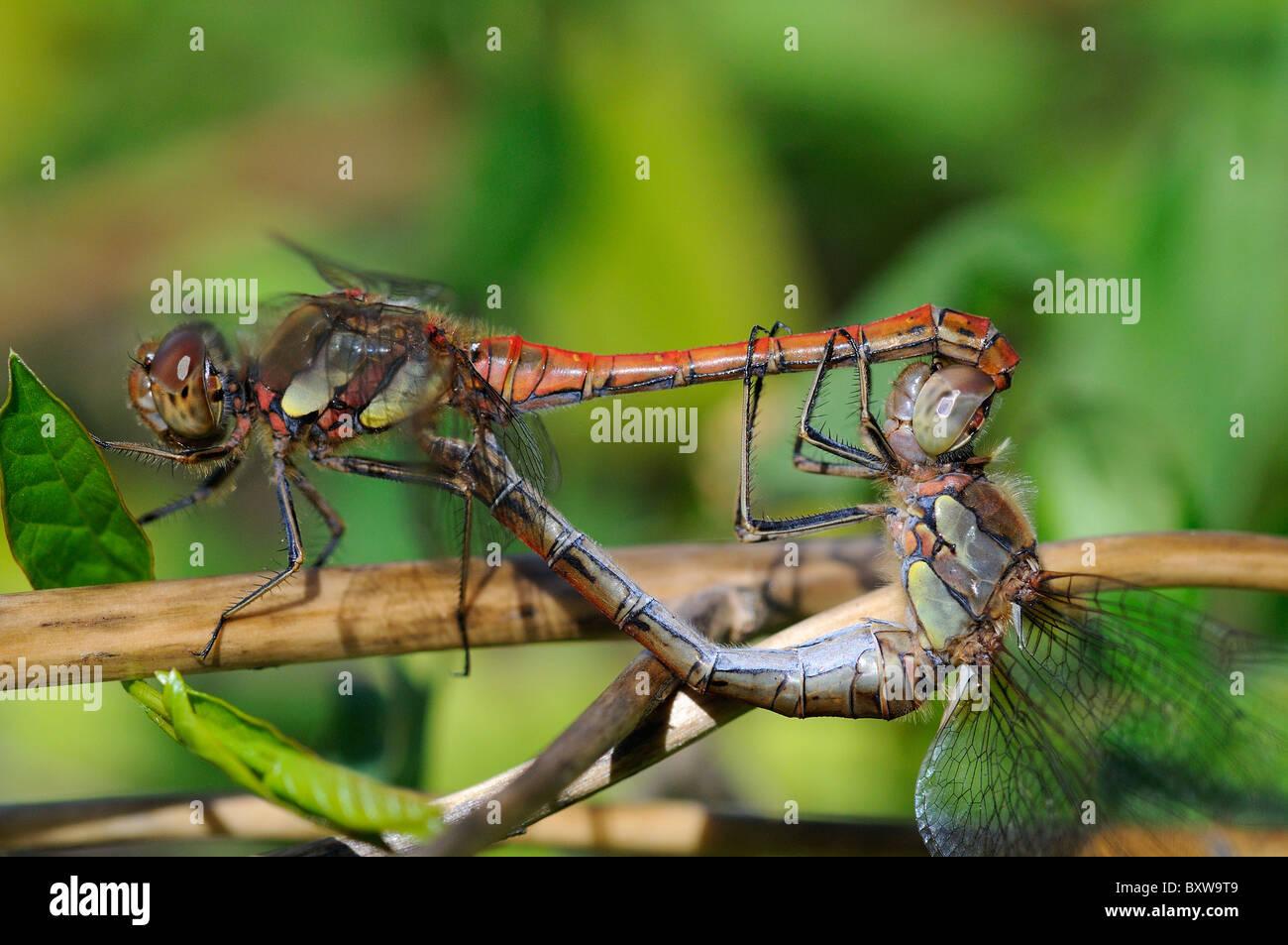 Common Darter Dragonfly (Sympetrum striolatum) pair mating, Oxfordshire, UK. - Stock Image