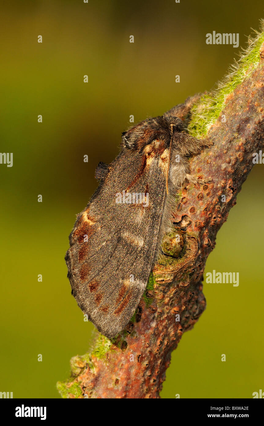 Iron Prominent moth (Notodonta dromedarius) adult at rest on twig, Oxfordshire, UK. - Stock Image