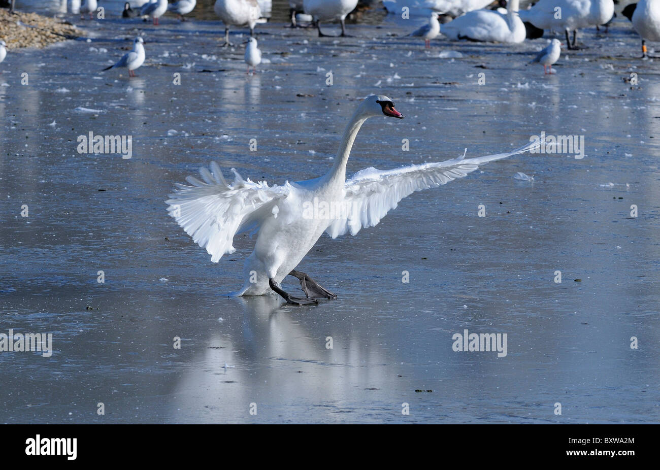 Mute Swan (Cygnus olor) walking on ice, wings outstretched, Slimbridge, UK. Stock Photo