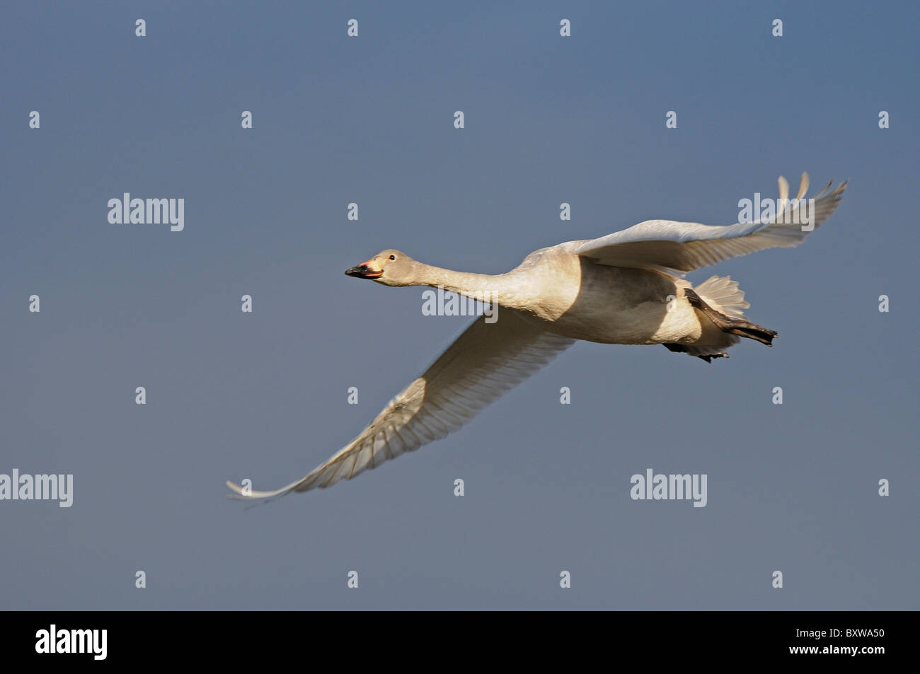 Bewick's Swan (Cygnus columbianus) juvenile in flight, Slimbridge, UK. Stock Photo