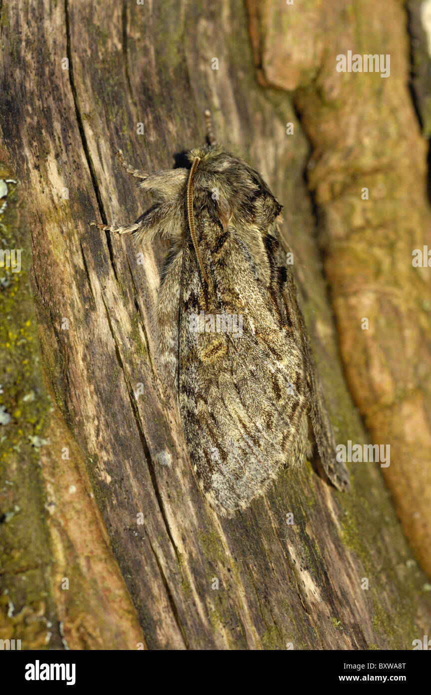 Great Prominent Moth Peridea anceps) adult resting on bark, Oxfordshire, UJK. - Stock Image