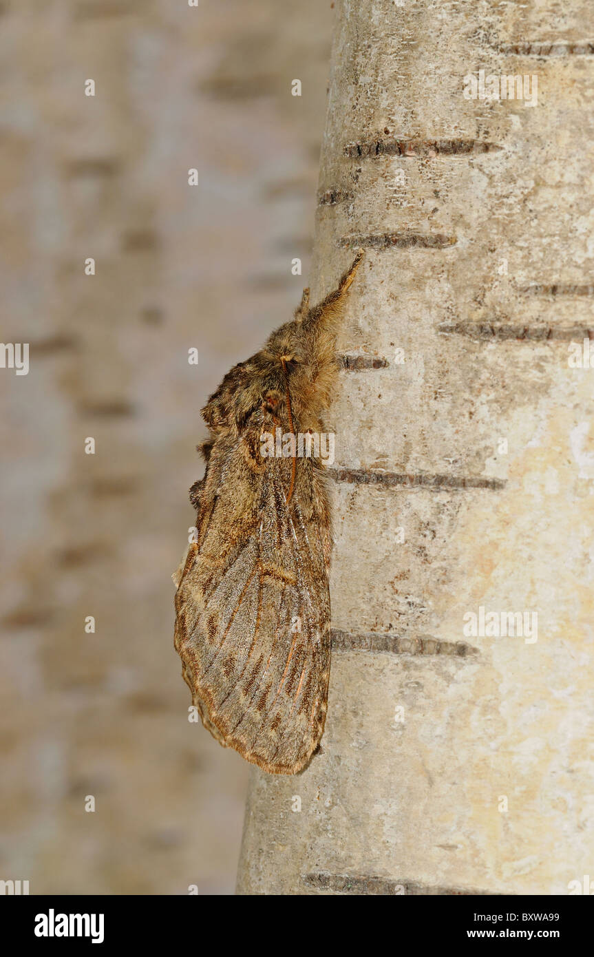 Great Prominent Moth (Peridea anceps) adult at rest on birch tree, Oxfordshire, UK. - Stock Image