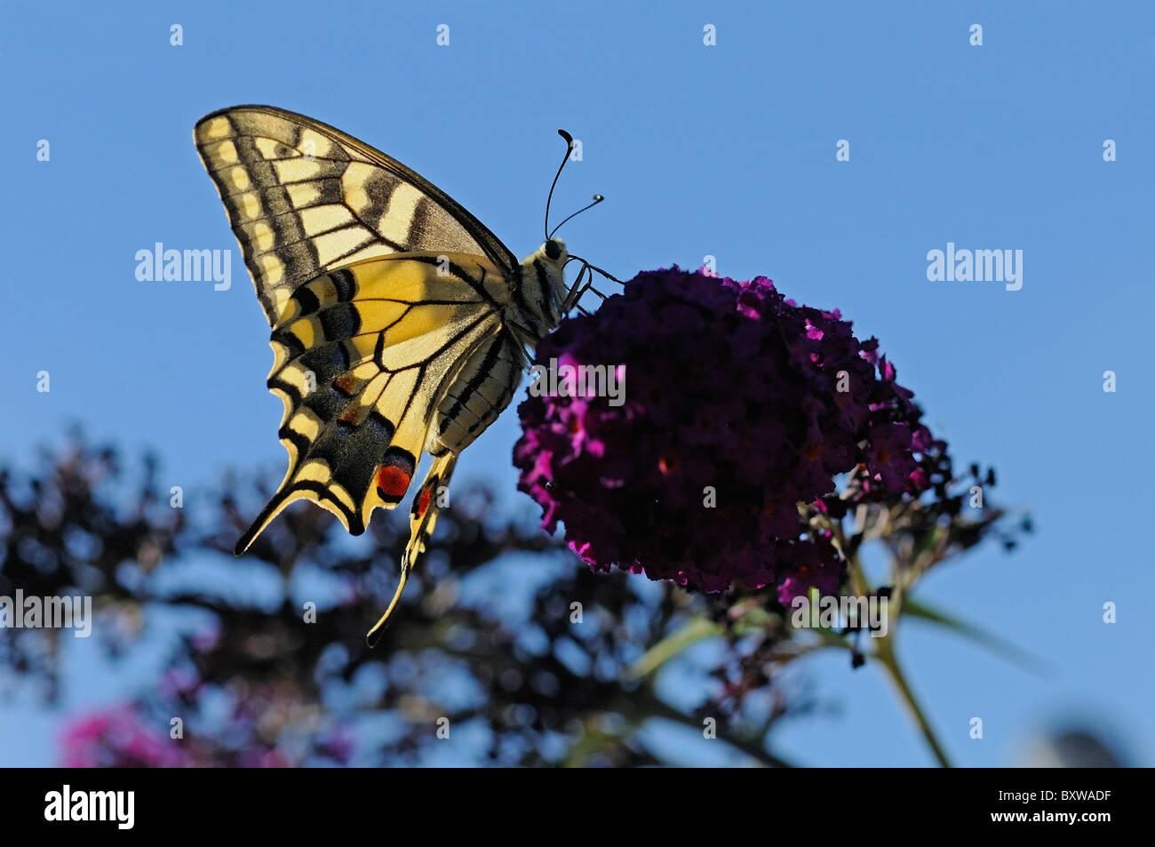 European Swallowtail Butterfly (Papilio machaon) feeding on buddleia flower - Stock Image