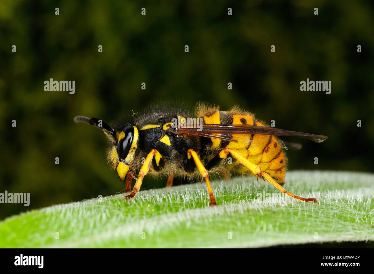Common wasp (Vespula vulgaris) resting on leaf, Oxfordshire, UK. - Stock Image