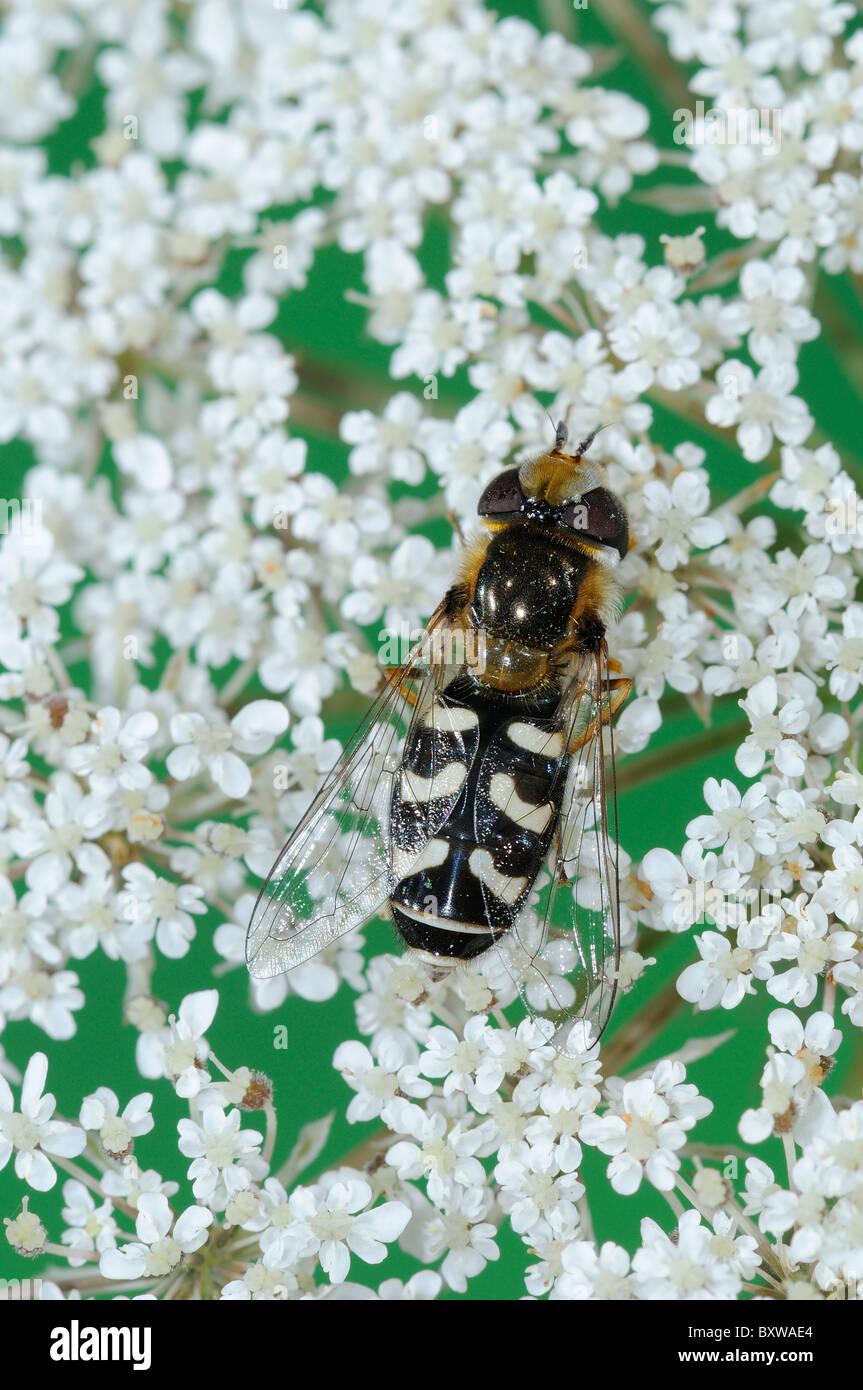 Hover-fly (Scaeva pyrastri) at rest on flower, Oxfordshire, UK. Stock Photo