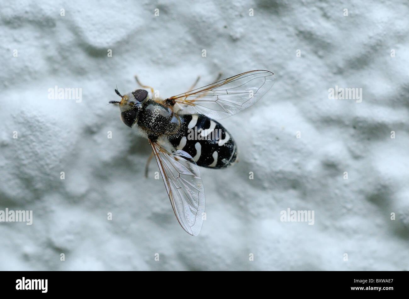 Hover-fly (Scaeva pyrastri) resting on wall, Oxfordshire, UK. - Stock Image