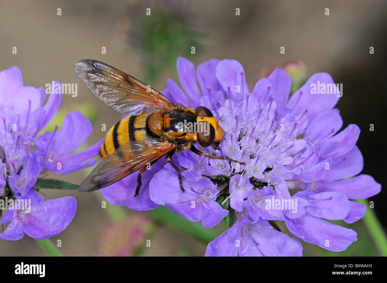 Hover-fly (Volucella species) feeding opn scabious flower, Oxfordshire - Stock Image