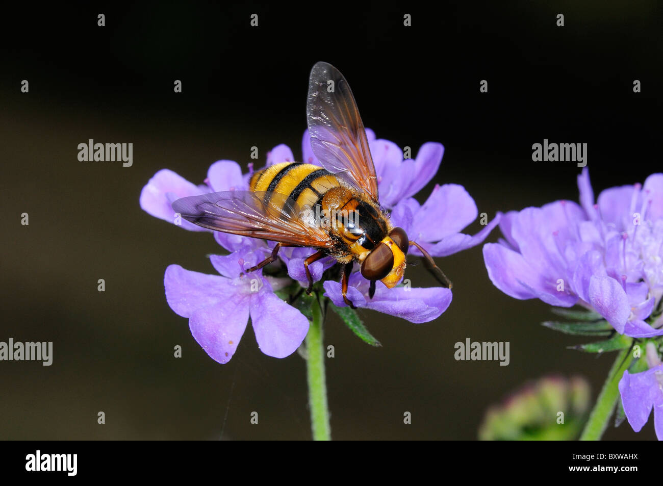 Hover-fly (Volucella species) feeding on scabious flower, Oxfordshire, UK. - Stock Image