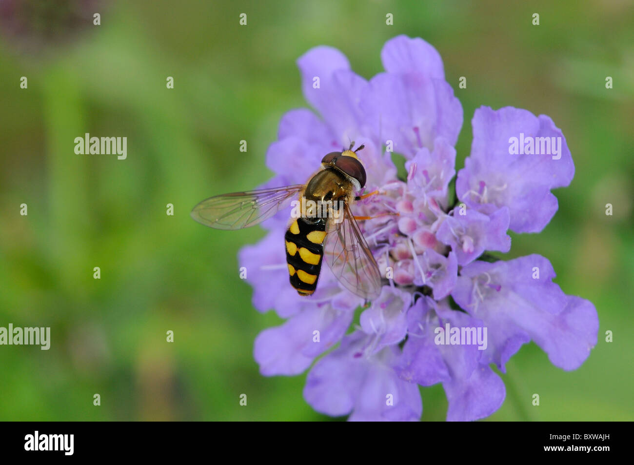 Hover-fly (Eupeodes species) feeding on scabious flower, Oxfordshire, UK. - Stock Image