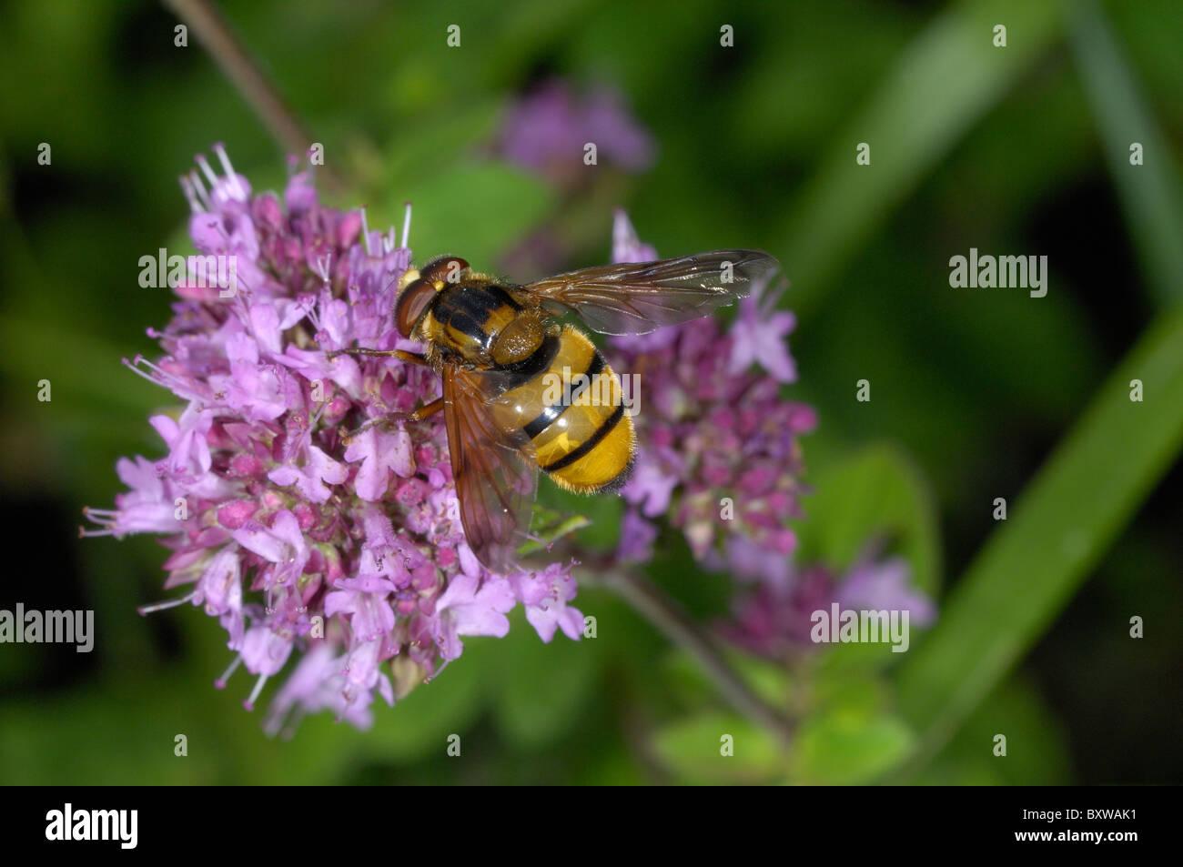 Hover-fly (Volucella species) feeding on marjoram flowers, Oxfordshire, UK. - Stock Image