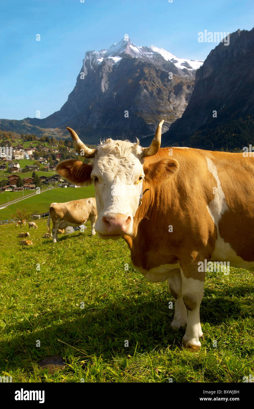 Milk Cow on Alpine Pasture above Grinderwald - Swiss Alps - Switzerland - Stock Image