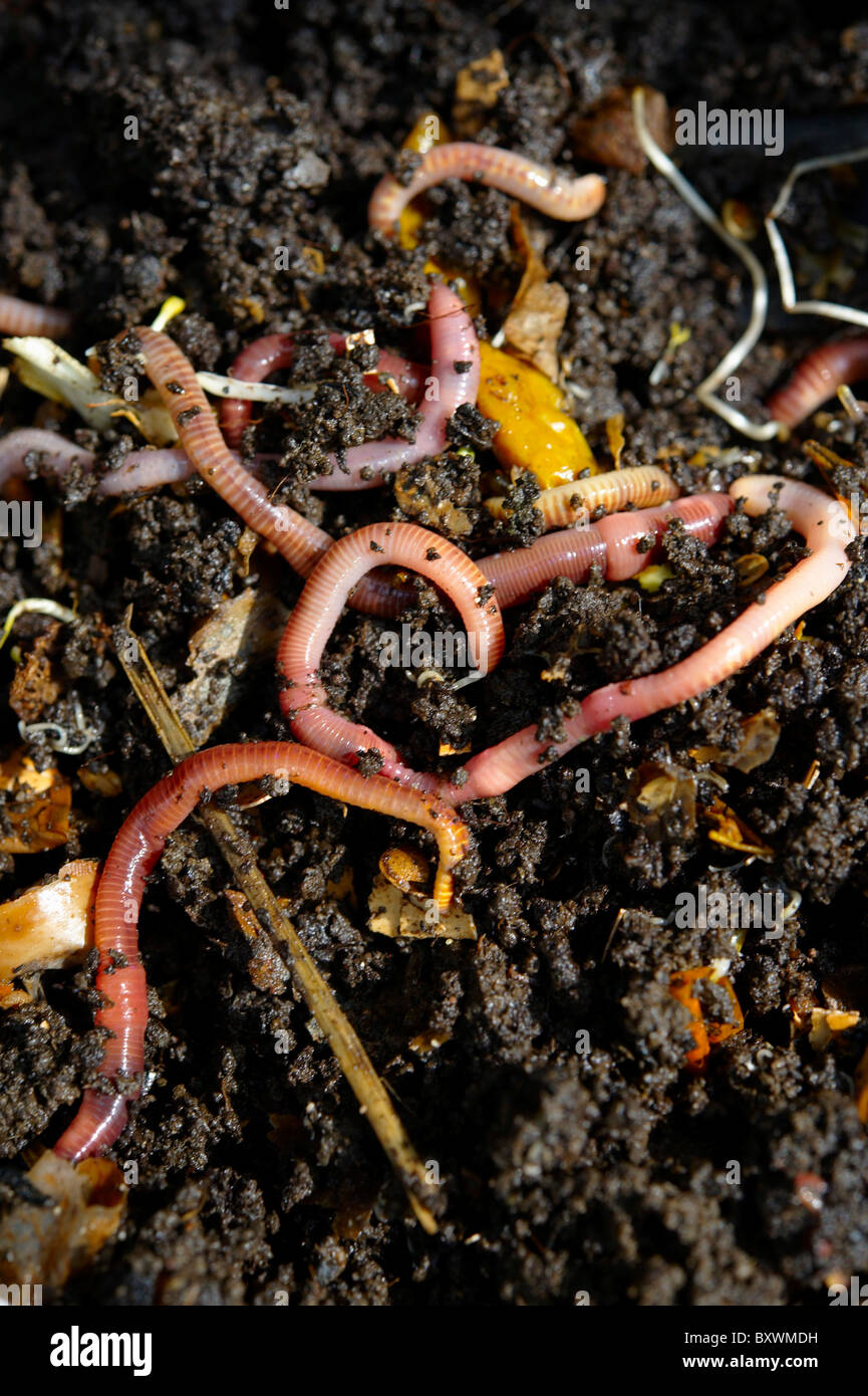 Worms in a wormery - Stock Image