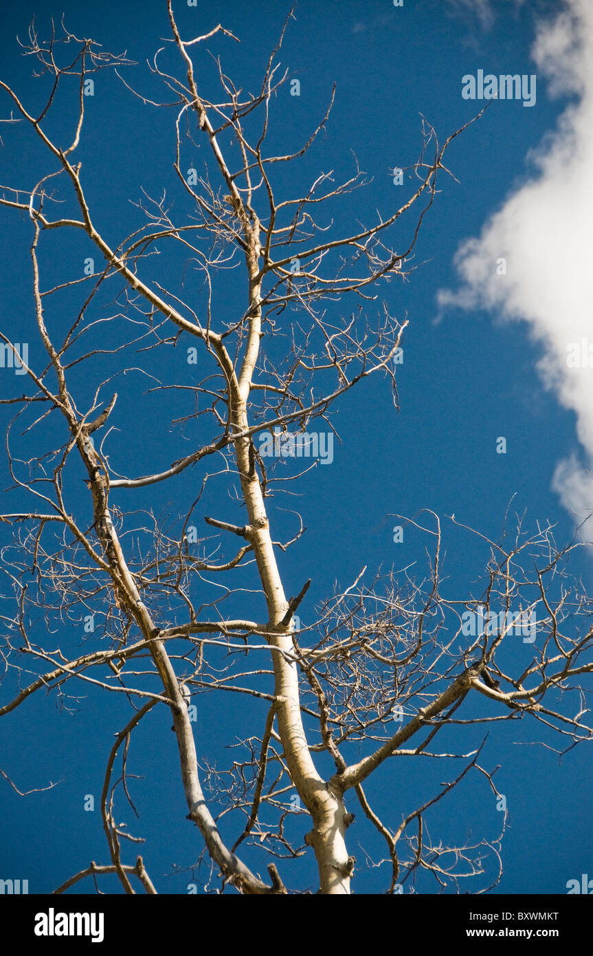 Bare Aspen tree branches - Stock Image