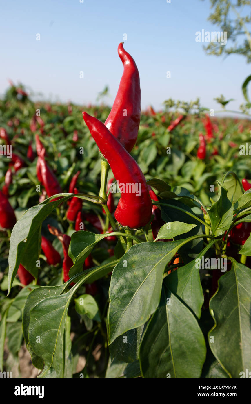 Capsicum annuum or chili peppers being grown to make Hungarian paprika - Kalocsa Hungary - Stock Image
