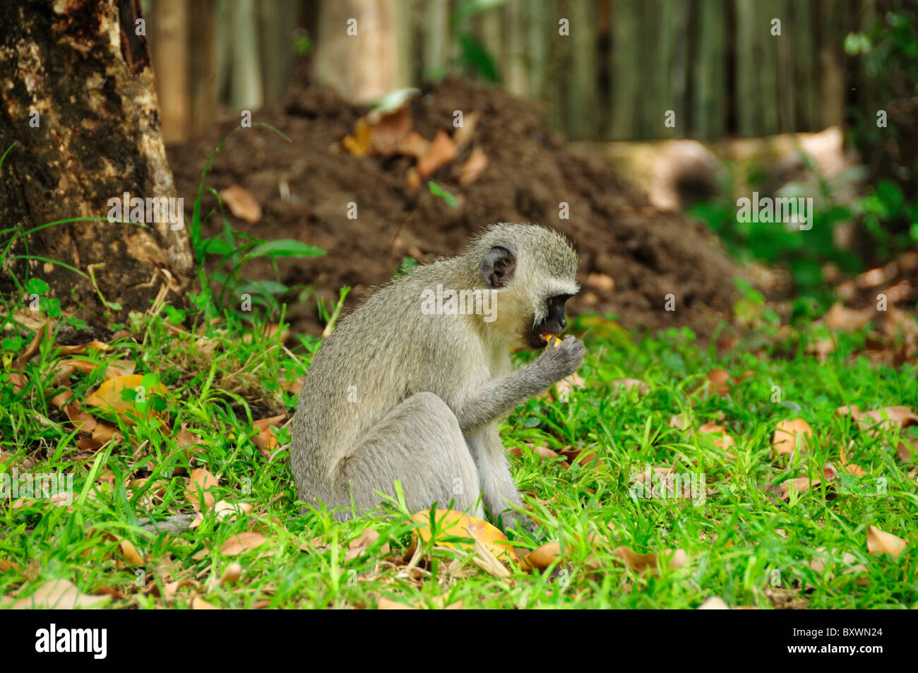 A Vervet monkey search for food. South Africa. Kruger National Park, South Africa. - Stock Image